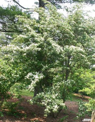 Cornus kousa var. chinensis A. Osborn (Chinese kousa dogwood),growth habit, blooming shrub form