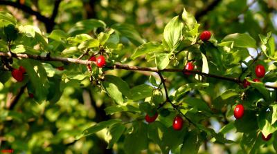 Cornus mas L. (Cornelian-cherry dogwood), branch with fruit and leaves