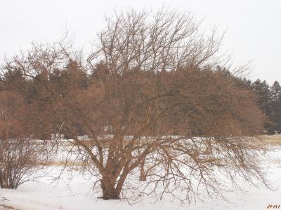 Cornus mas L. (Cornelian-cherry dogwood), tree form