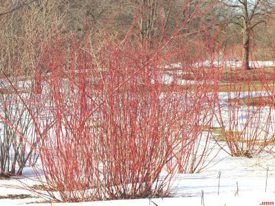 Cornus sericea ssp. sericea (red-osier dogwood), growth habit, shrub form