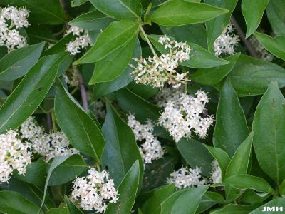 Cornus racemosa Lamarck (gray dogwood), inflorescence