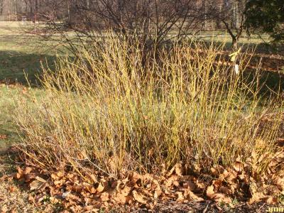 Cornus sericea ssp. sericea 'Flaviramea' (Yellow-twigged dogwood), shrub form