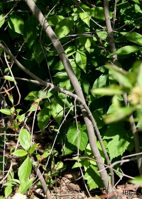 Cornus racemosa Lamarck (gray dogwood), bark