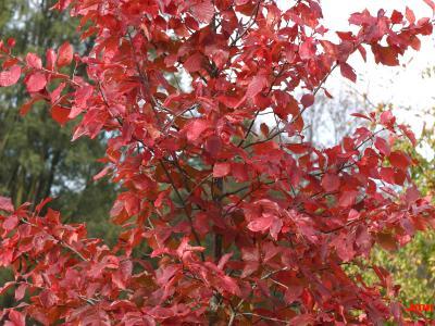 Nyssa sylvatica Marsh. (tupelo), branches, fall color