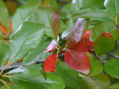 Nyssa sylvatica Marsh. (tupelo), close-up of leaves