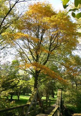 Nyssa sylvatica Marsh. (tupelo), growth habit, mature tree form