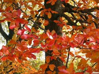 Nyssa sylvatica Marsh. (tupelo), branches with leaves, fall color