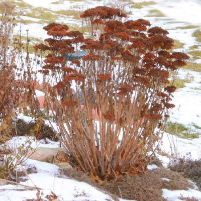 Hylotelephium 'Herbstfreude' (Autumn Joy stonecrop), perennial succulent, dried inflorescence