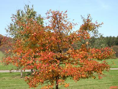 Nyssa sylvatica Marsh. (tupelo), growth habit, young tree form
