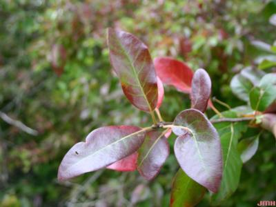 Nyssa sylvatica Marsh. (tupelo), leaves