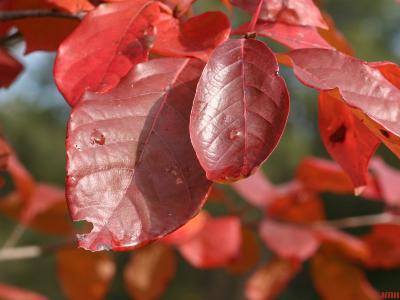 Nyssa sylvatica Marsh. (tupelo), close-up of leaves, fall color