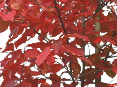 Nyssa sylvatica Marsh. (tupelo), leaves, fall color