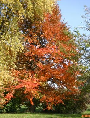 Nyssa sylvatica Marsh. (tupelo), growth habit, tree form