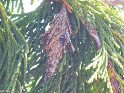 Chamaecyparis nootkatensis 'Glauca Pendula' (Blue Weeping Alaska-cedar), bagworm case, cocoon