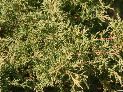 Juniperus chinensis 'Pfitzeriana Aurea' (Golden Pfitzer Chinese juniper), leaves
