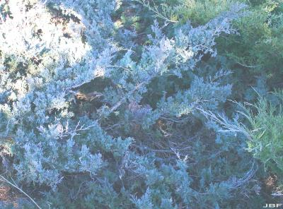 Juniperus 'Hermit' (hermit juniper), growth habit