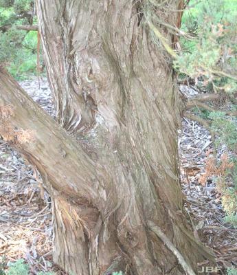 Juniperus chinensis 'Robusta' (Robust Chinese juniper), bark