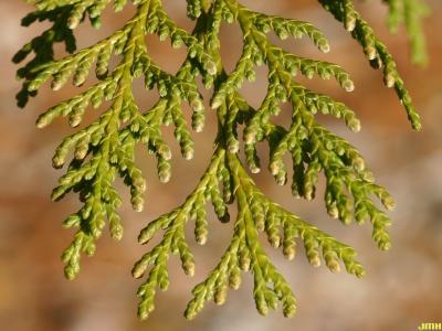 Chamaecyparis pisifera (Sieb. & Zucc.) Endl. (sawara-cypress), pollen strobili