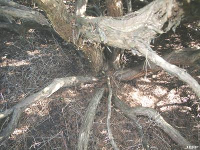 Juniperus chinensis 'Armstrongii' (Armstrong Chinese juniper), bark and base branching