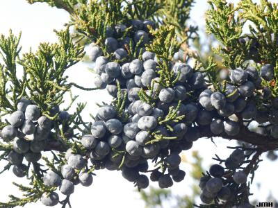 Juniperus chinensis 'Fairview' (Fairview Chinese juniper), fruit and foliage in winter