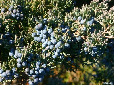 Juniperus 'Hermit' (hermit juniper), fruit