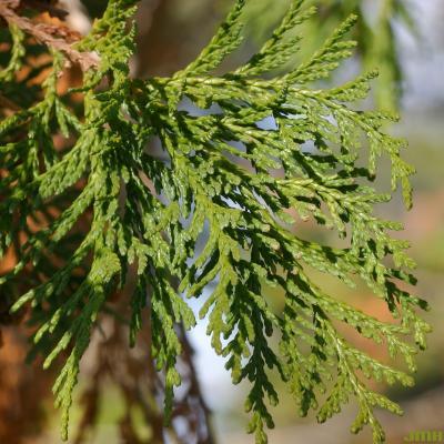 Chamaecyparis pisifera (Sieb. & Zucc.) Endl. (sawara-cypress), close-up of leaves
