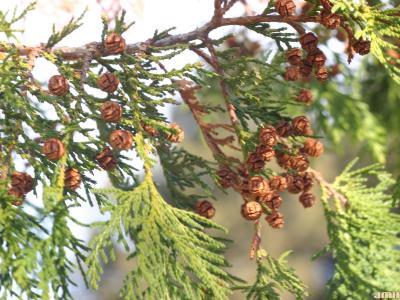 Chamaecyparis pisifera (Sieb. & Zucc.) Endl. (sawara-cypress), cones