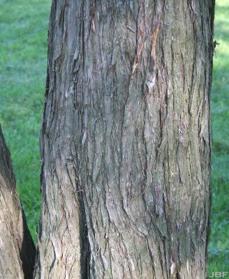 Juniperus chinensis L. (Chinese juniper), bark