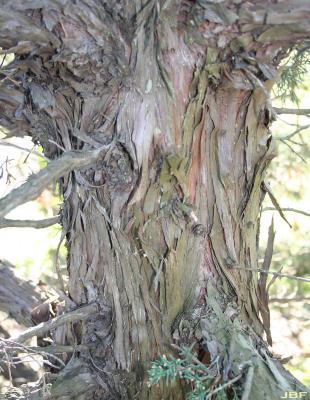 Juniperus chinensis 'Story' (Story Chinese juniper), bark