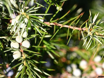 Juniperus oxycedrus L. (prickly juniper), needle, fruit