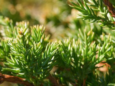 Juniperus procumbens (Siebold ex Endl.) Miq. (Japanese garden juniper), leaves