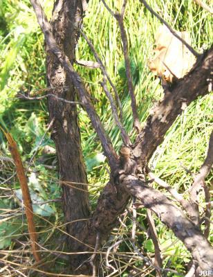 Juniperus rigida Sieb. & Zucc. (needle juniper), bark