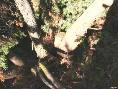 Juniperus oxycedrus L. (prickly juniper), bark