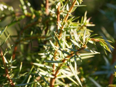 Juniperus rigida Sieb. & Zucc. (needle juniper), needles