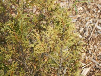Juniperus turkestanica Kom. (Turkestan juniper), leaves