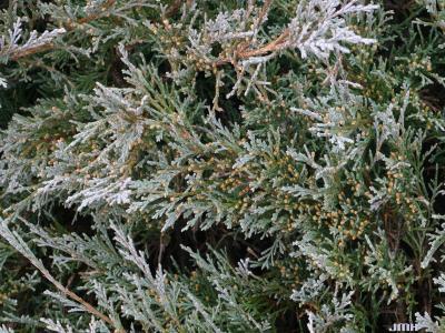 Juniperus scopulorum 'Silver King' (Silver King Rocky Mountain juniper), leaves, male cones