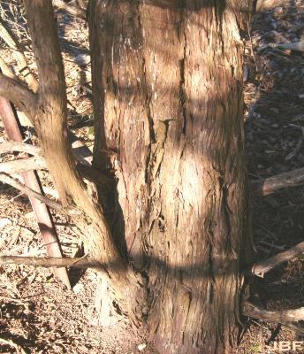 Juniperus scopulorum 'Springtime' (Springtime Rocky Mountain juniper), bark