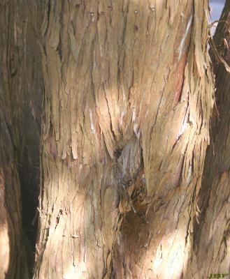 Juniperus virginiana 'Cinerascens' (Ashy-grey eastern red-cedar), bark