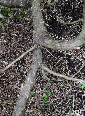 Juniperus virginiana 'Greenspreader' (Greenspreader eastern red-cedar), bark