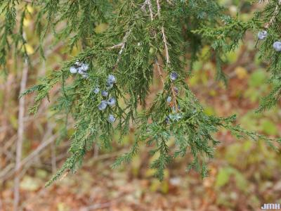Juniperus virginiana 'Hillii' (Hill's eastern red-cedar), leaves and fruit