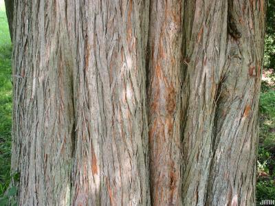Taxodium distichum (L.) Rich. (bald-cypress), bark