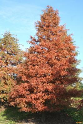 Taxodium distichum (L.) Rich. (bald-cypress), growth habit, deciduous tree form, fall color