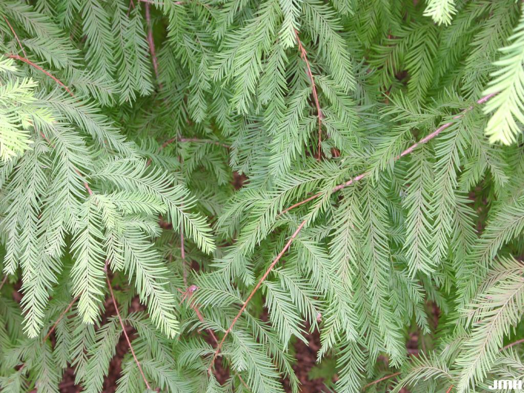 Taxodium distichum (L.) Rich. (bald-cypress), leaves