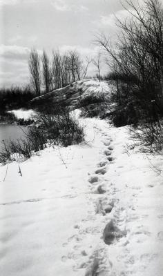 Footprints in snow along east side of old Caprifoliaceae Collection
