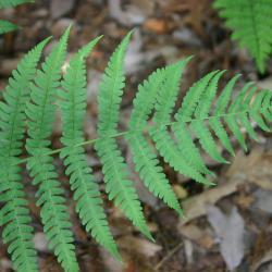 Dryopteris marginalis (L.) A. Gray (marginal shield fern), leaves
