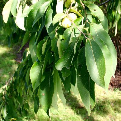 Diospyros virginiana L. (persimmon), leaves
