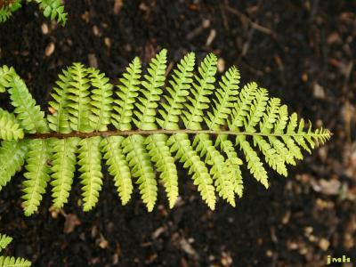 Polystichum polyblepharum (Roem.) Presl. (Japanese holly fern), leaves