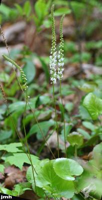 Galax urceolata (Poir.) Brummitt (wandflower), flowers, stem