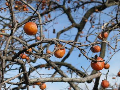 Diospyros virginiana L. (persimmon), fruit