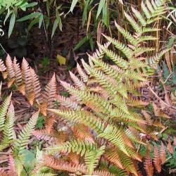Dryopteris erythrosora (D. C. Eaton) Kuntze (Japanese shield fern), leaves, habit
